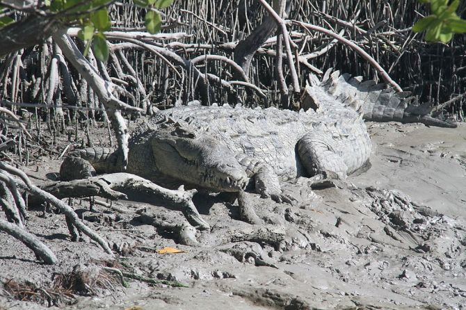 American_crocodile_in_Flamingo,_Florida