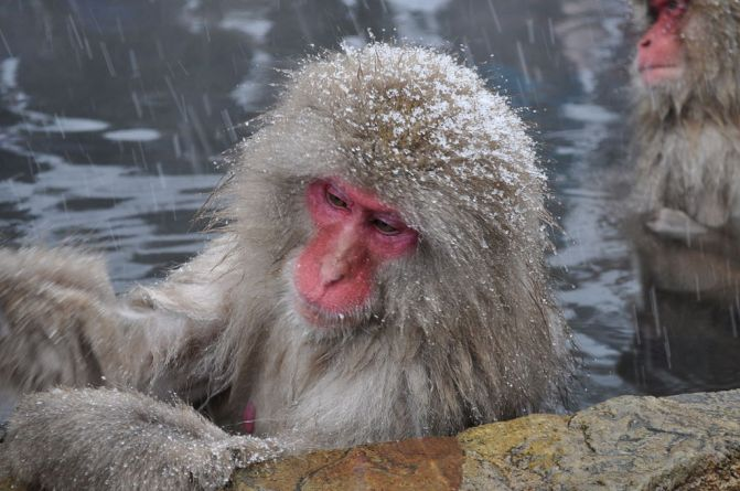 1024px-Japanese_Macaque,_Nagano,_Japan.