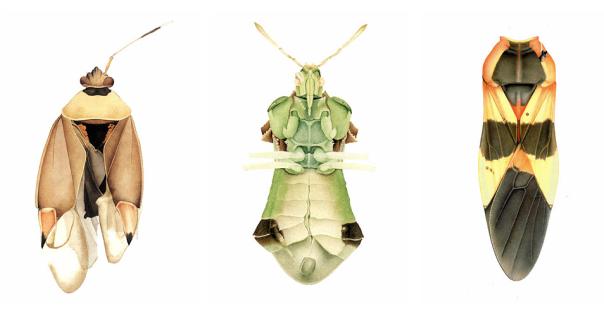 Cornelia bugs 1