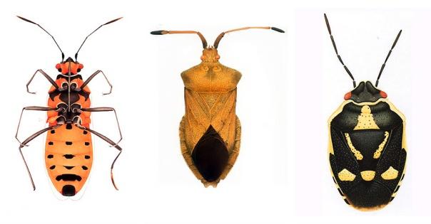 Cornelia bugs 3