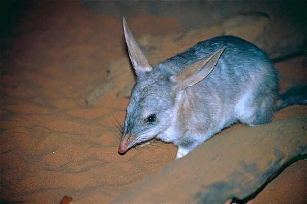 greater Bilby Bernard Dupont Flickr