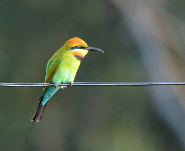 James Niland_RainbowBee Eater Flickr