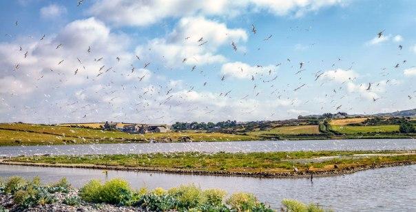 tern colony_jw