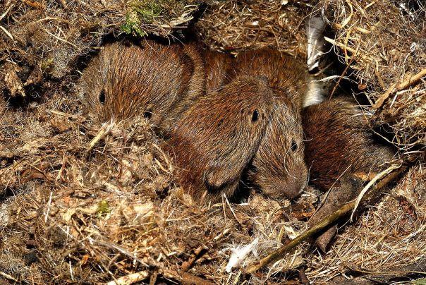 baby bank voles Plantsurfer Wiki