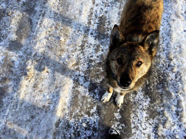 Chernobyl dog