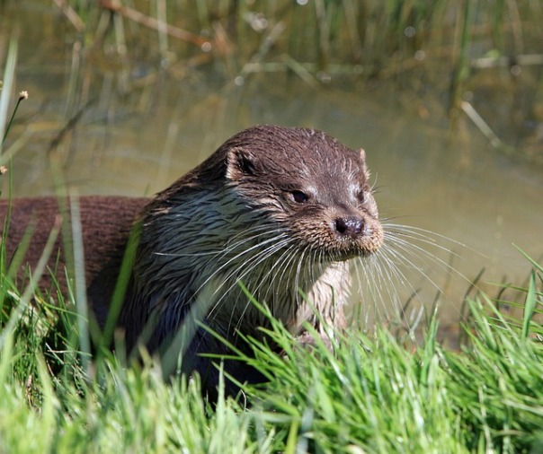 Suffolk Otter